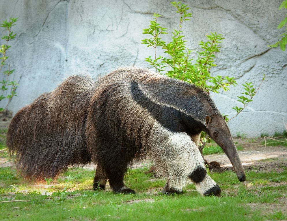 a report on the anteaters Female anteaters give birth to one offspring at a time and the baby rides on the mother's back for the first several months of life the public can follow the baby's growth on facebook and instagram.