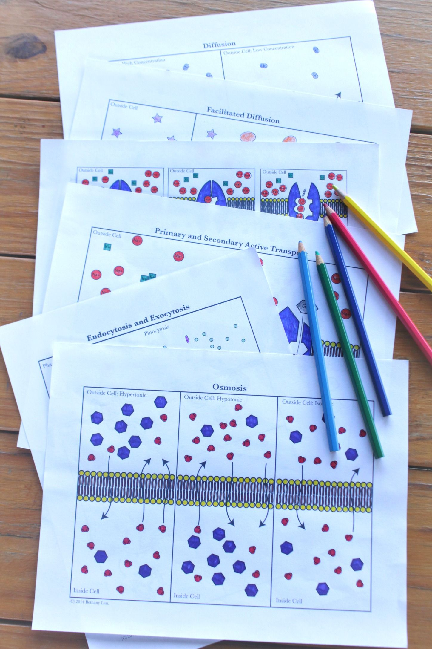 Cell Transport Coloring Pages Terrific For Explaining Diffusion