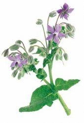 Says this is the best companion plant for Alpine Strawberries! Borage - Blue Flowers - 15+ Seeds