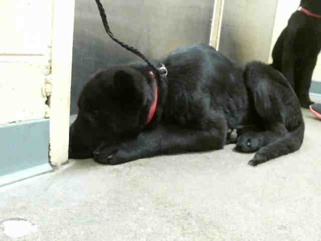 #WASHINGTON ~ ID A431387 is a 12wk Black German Shepherd mix #puppy at the shelter since 1-27-14 & in need of a loving #adopter / #rescue at REGIONAL ANIMAL SERVICES of KING COUNTY 21615 64th Ave S #Kent WA 98032 Ph 206-296-7387