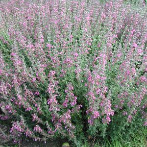 Teucrium x lucidrys immergr ner gamander for Pflanzengestaltung garten