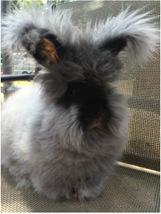 English Angora Rabbit Colors - Humming B Alpacas | Animals