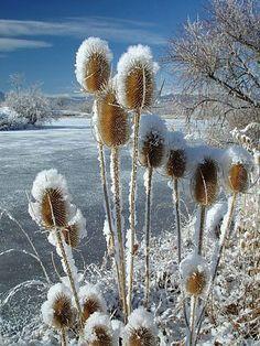 Snowy Prickles