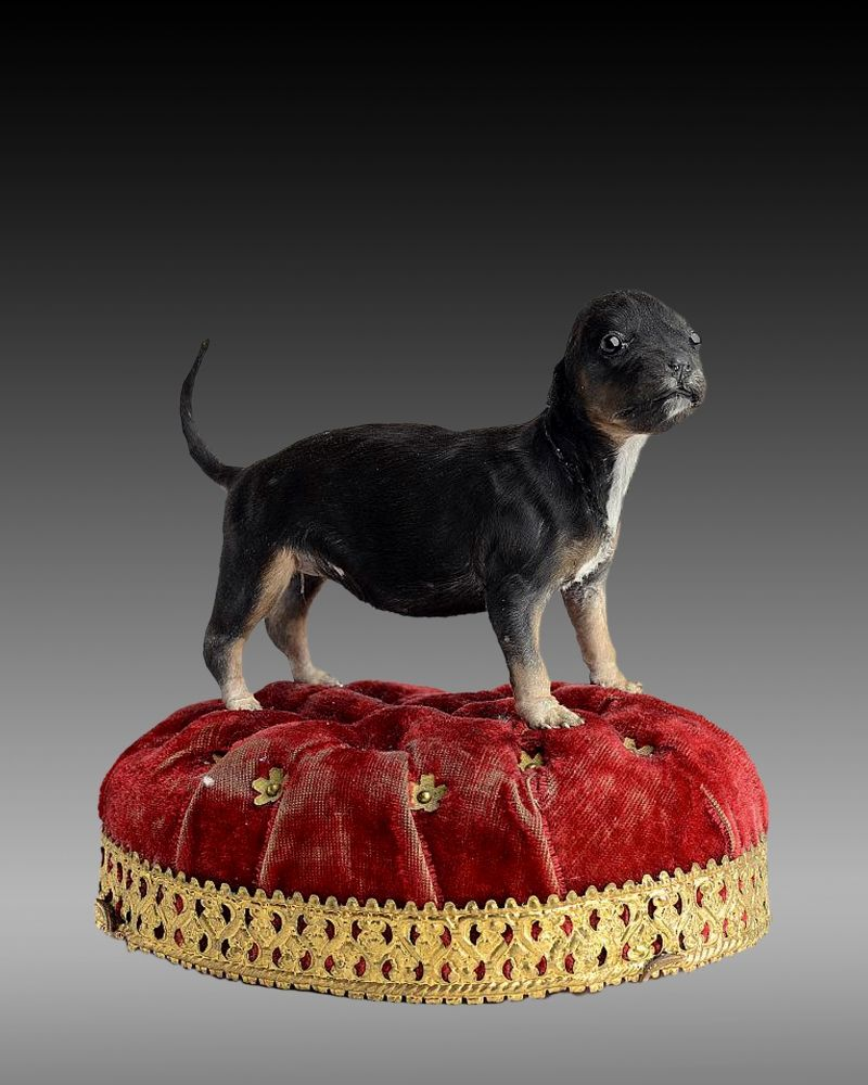 Taxidermy Miniature Dog Taxidermy Dog Miniature Dogs Taxidermy Art