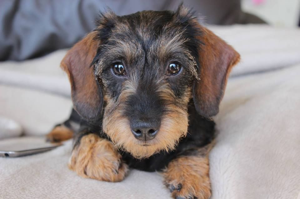 Pin By Shannon Briggs On I Doxies Wire Haired Dachshund Dog