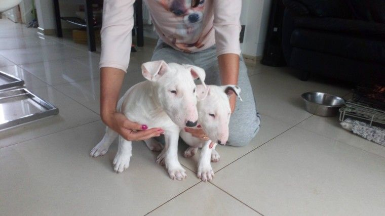 Bull Terrier Puppies For Sale In Ca Ideas