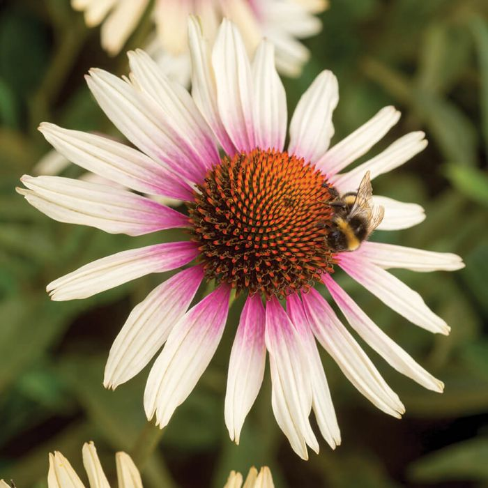 Funky White Coneflower In 2020 Echinacea Funky Plants