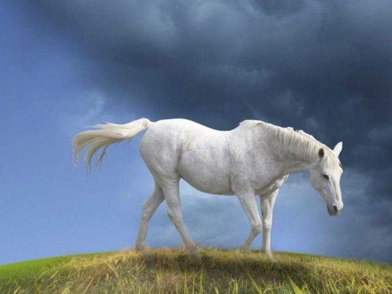 Les Fonds D Ecran Un Cheval Blanc Au Pas Sur Une Colline Beaux Chevaux Cheval Cheval Blanc