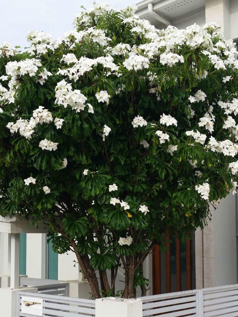 Plumeria Pudica Bridal Bouquet World Of Flowering Plants Plumeria Pudica Plumeria Flowers Planting Flowers