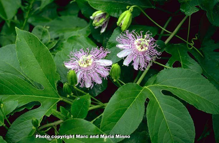 Passiflora Passion Vine Backyard Garden Butterfly Garden