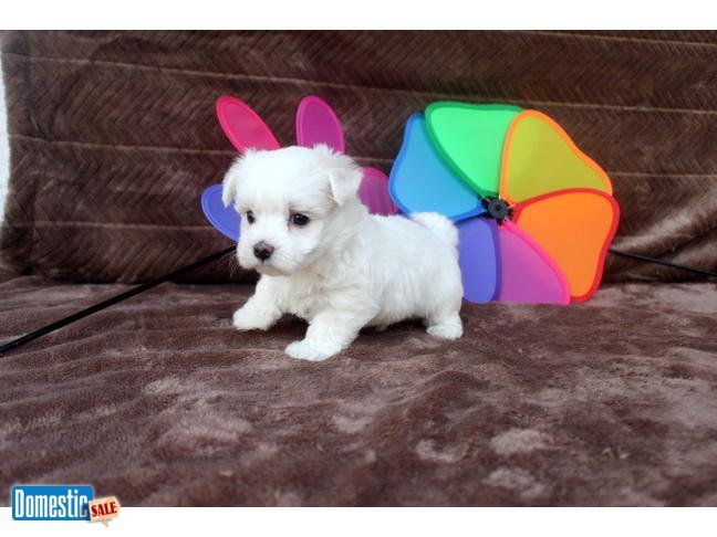 Male Maltese 1750marquis Says I M Your Puppy This Is Marquis He