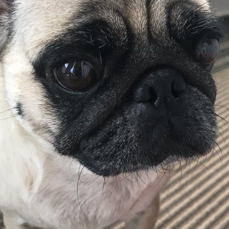Happy Pug Thatface Puppy Pug Dog Dogsofinstagram Puggie