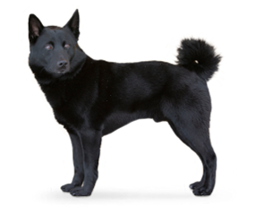 Black Norwegian Elkhound Norwegian Elkhound Dog Breeds Dog Quiz