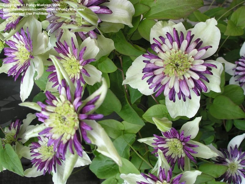 Clematis florida var sieboldiana 'Vienetta' The blooms are ...