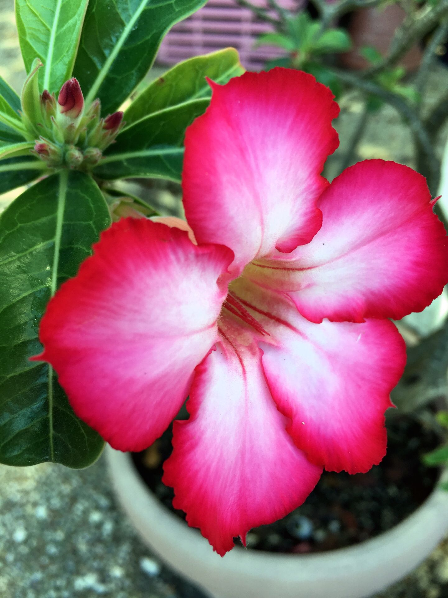 My pics of beautiful tropical flowers here on islamorada in the my pics of beautiful tropical flowers here on islamorada in the keys of florida izmirmasajfo