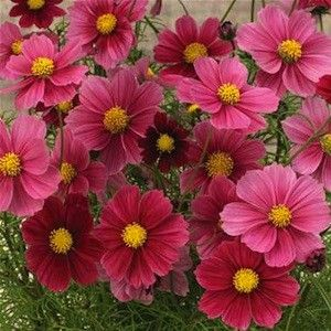 Antiquity Cosmos Seeds Flowers Open Rich Burgundy Age To Bronze Salmon Early Heavy And Long Blooming Dwarf 20 Cosmos Flowers Flower Seeds Annual Flowers