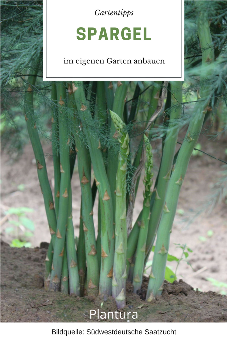 Spargel Das Edelgemuse Im Eigenen Garten Anbauen Plantura Spargel Pflanzen Gemuse Anpflanzen Pflanzen