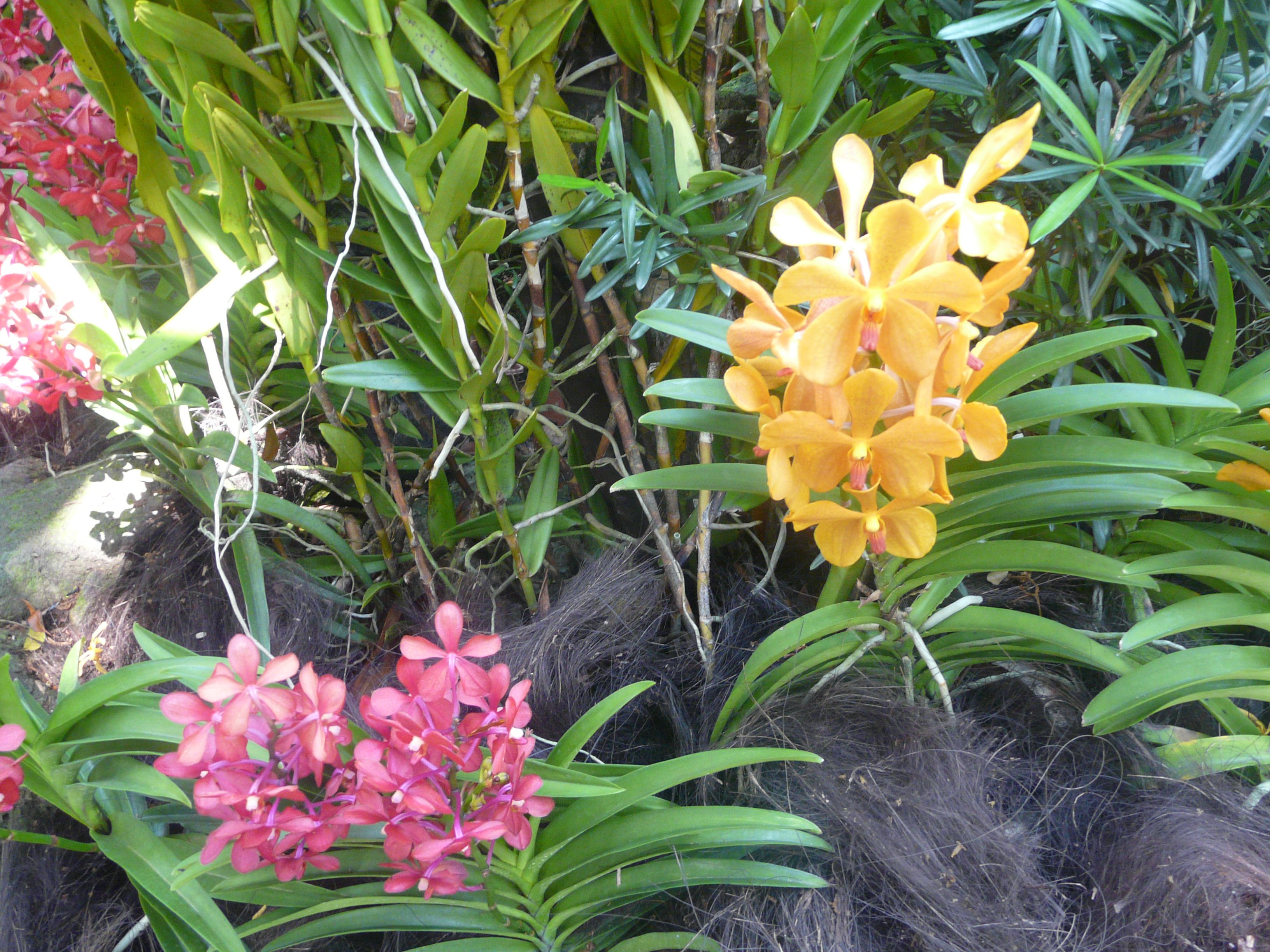 Purple and yellow orchids at the national orchid garden singapore
