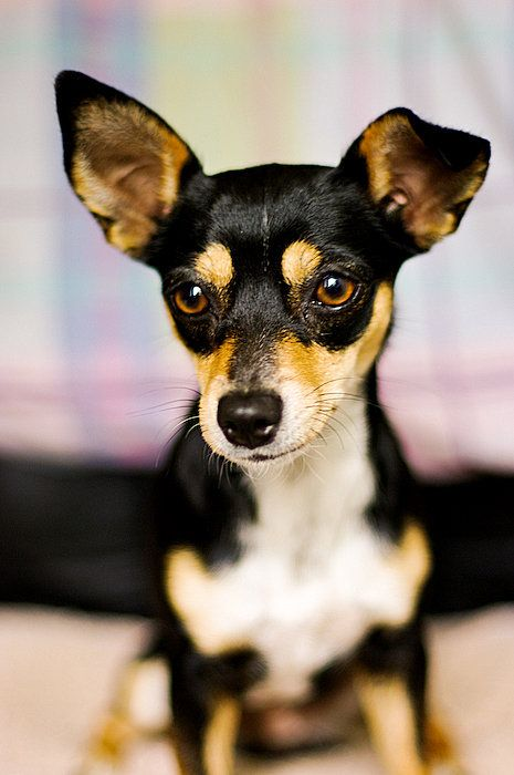 Min Pin Chihuahua Mix Looks Like Titus Chihuahua Mix Miniature