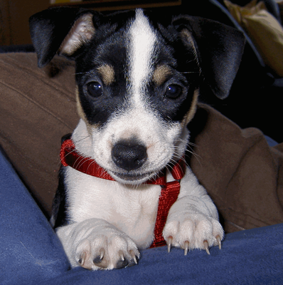Jack Russell Terrier Amy als Welpe Hunde, Jack russell