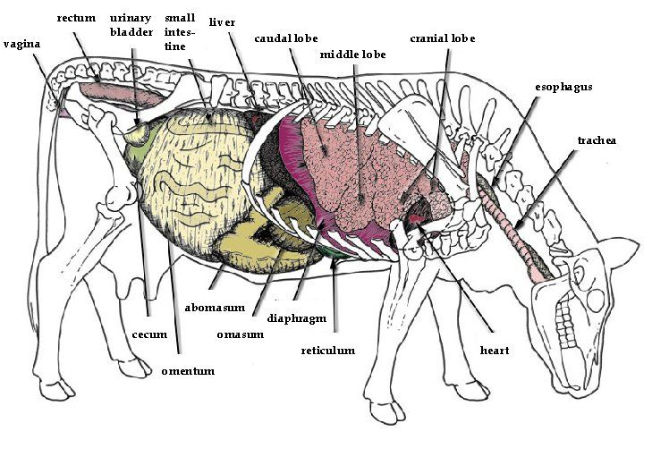 Cow Anatomy Diagram: Google Image Result For Http://www.articlesweb.org/blog/wp