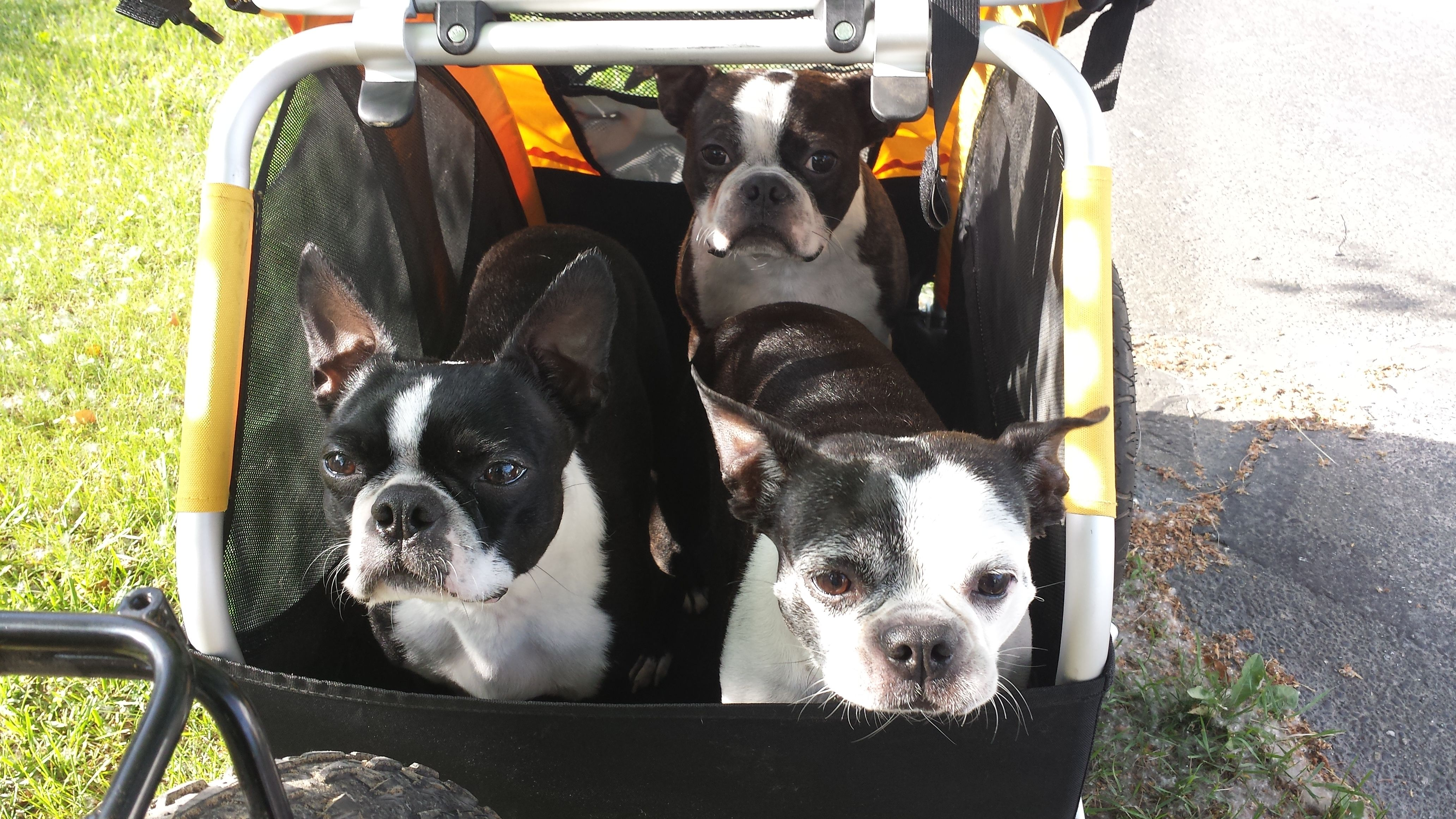 Donalds French Bulldogs Lets Go Already Burley Tailwagon Cute Pet Bike Trailer Pets Furry Friend