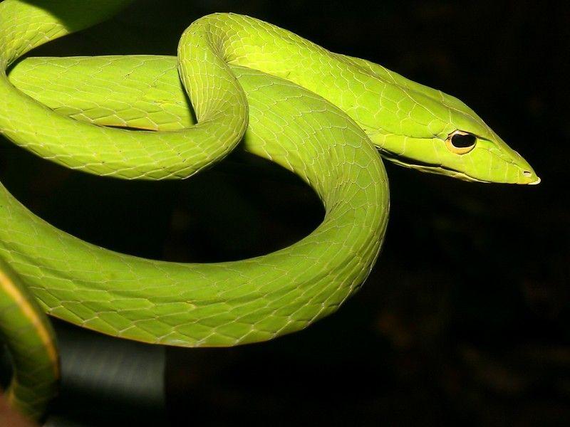 5 Most Unusual Snakes All Over The World Snake Wallpaper Vine Snake Snake