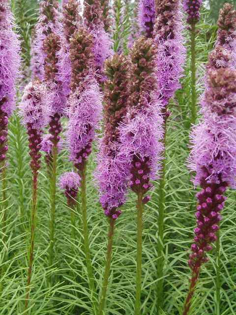 Lady Bird Johnson Wildflower Center The University Of Texas At Austin Prairie Flower Wild Flowers Liatris