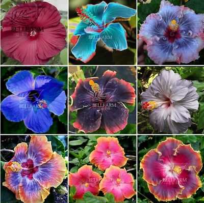 Hibiscus Seed Mix Hibiscus Rosa Sinensis Perennial Flower Seeds 20 Seed Ebay Flower Seeds Hibiscus Rosa Sinensis Flowers Perennials