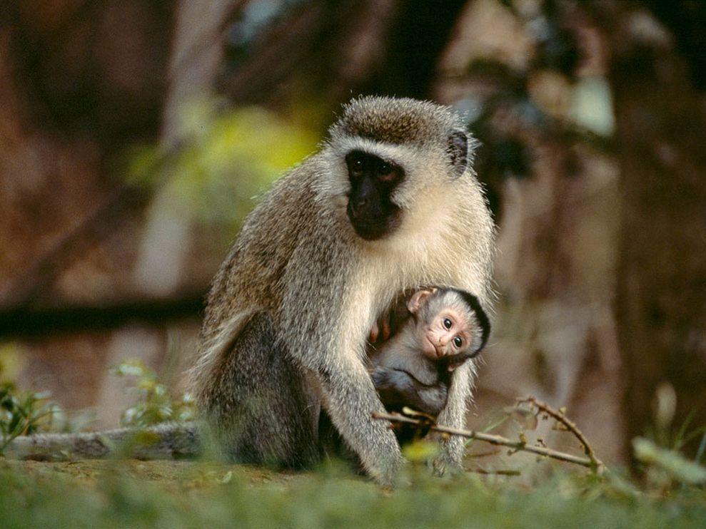 5 Amazing Animals That Start With The Letter V Vervet Monkey