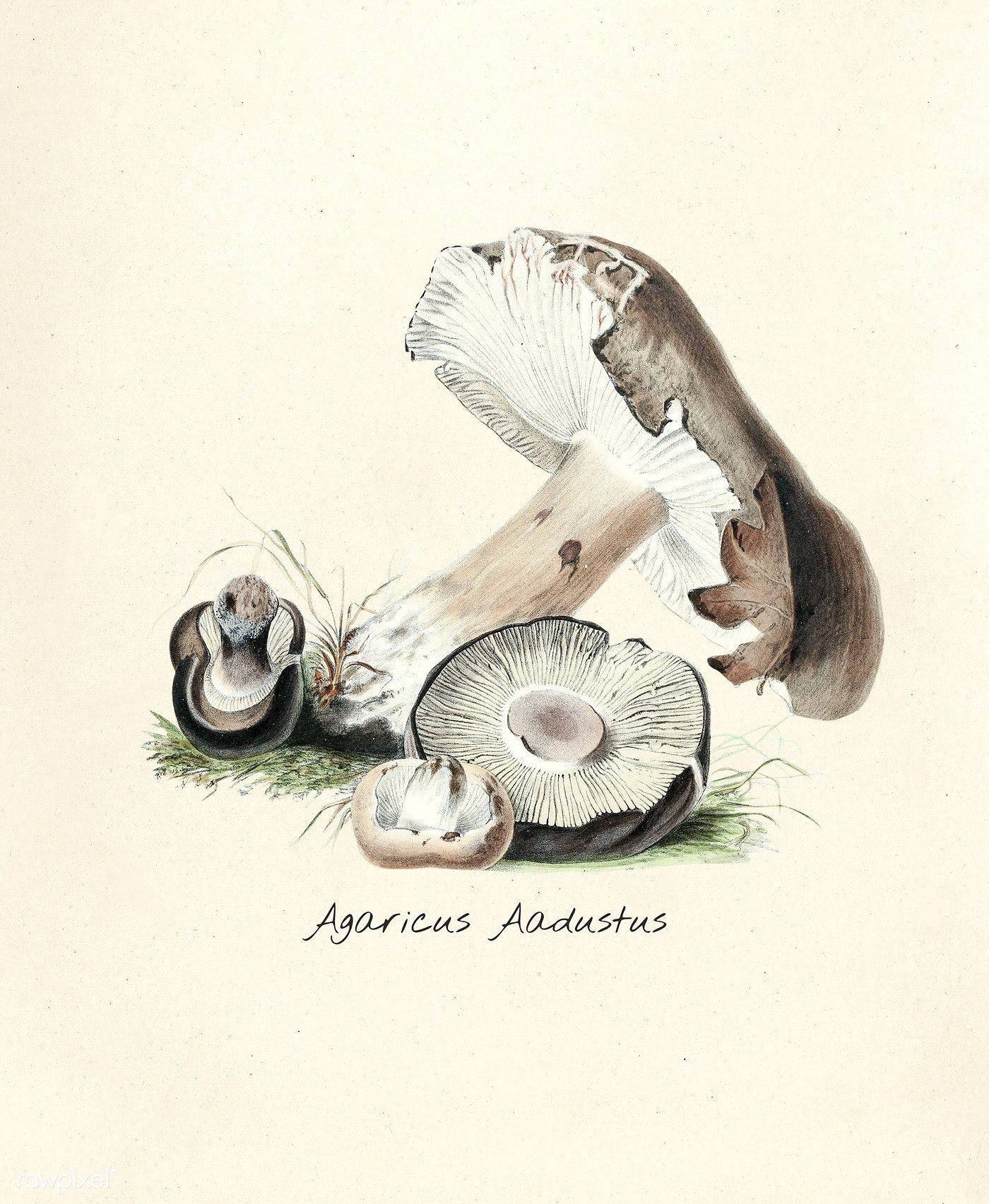 Antique illustration of Agaricus Aadustus | free image by ...