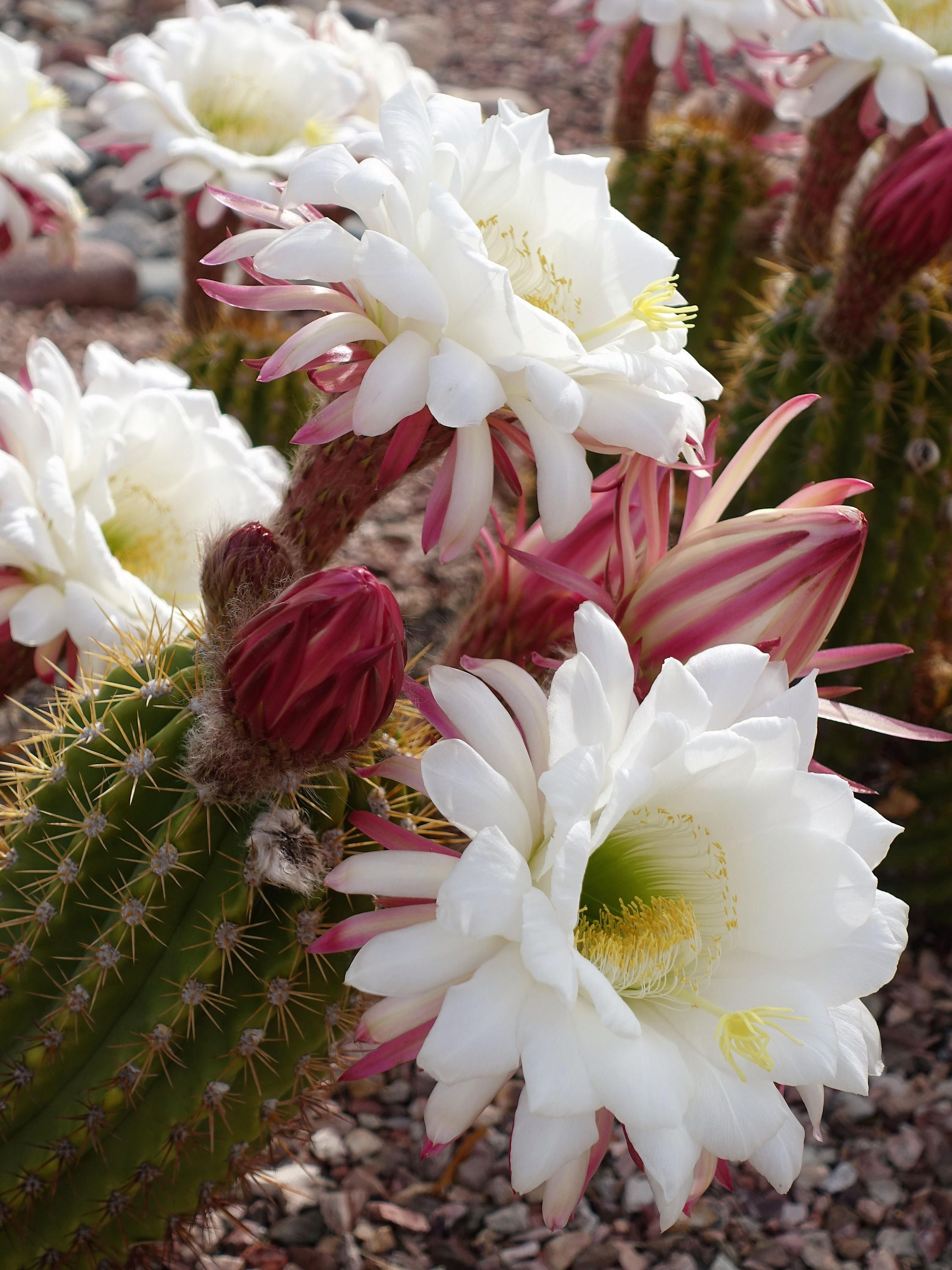 White Cactus Flowers Arizona Instant Digital Download Photograph Art