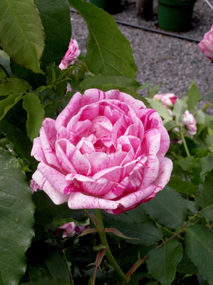 gros provins panache cette grosse rose provins est une des premi res roses fleurs stri es. Black Bedroom Furniture Sets. Home Design Ideas