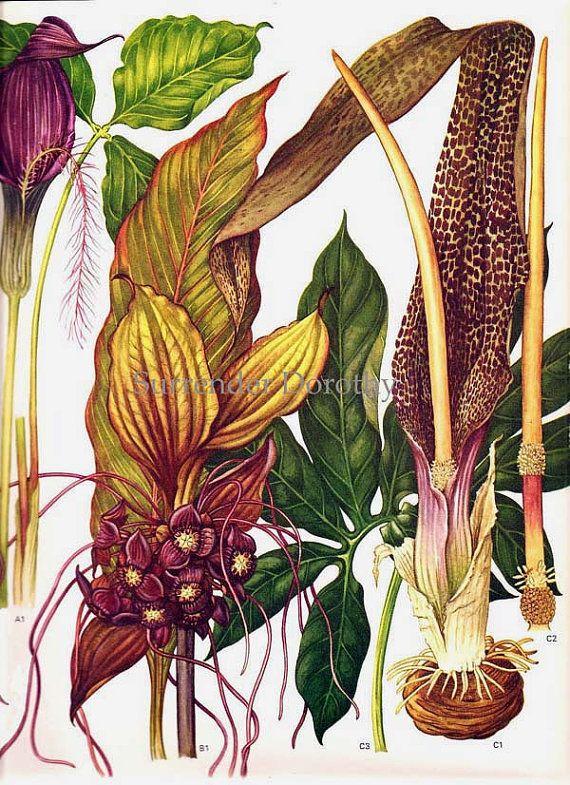 Voodoo Lily Flowers Araceae & Taccacae South by SurrenderDorothy