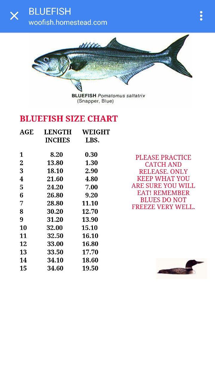 Bluefish Size Chart Fishing Movie Posters Size Chart Poster