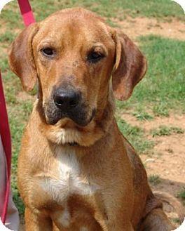 Redbone Coonhound Dog Photo Redbone Coonhound Mix Dog For Sale In