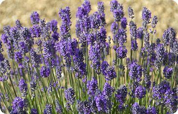 Lavenite Peie Tidy Mid Purple Lavender With Wonderful
