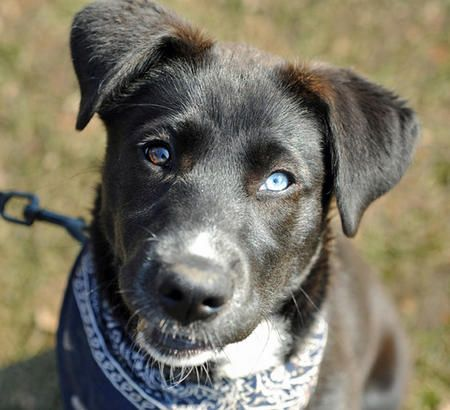 Siberian Husky Labrador Mix Oh Fur Cute Husky Mix Puppies Husky