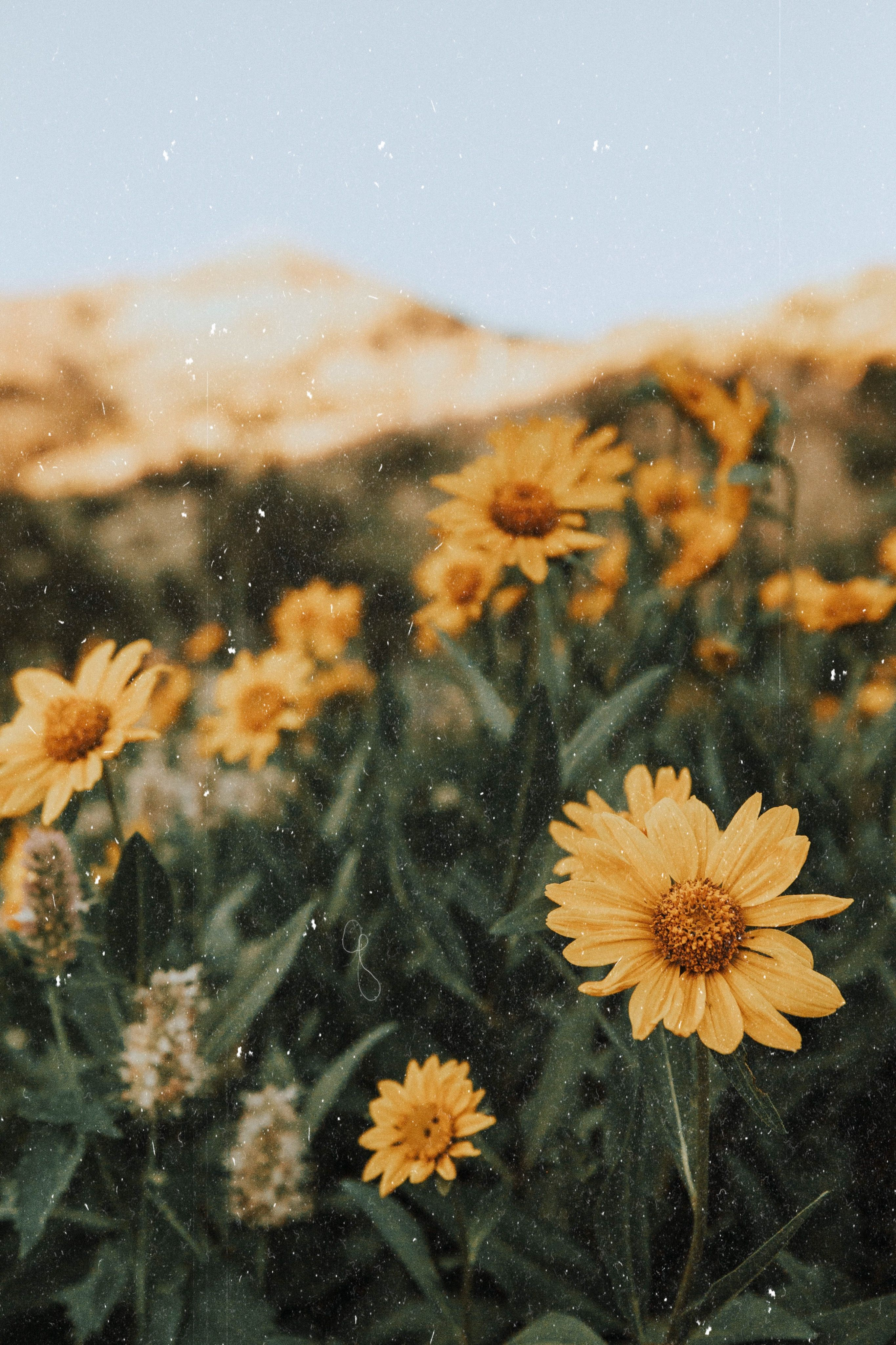 Du côté de la Montagne. yellow flowers mountains