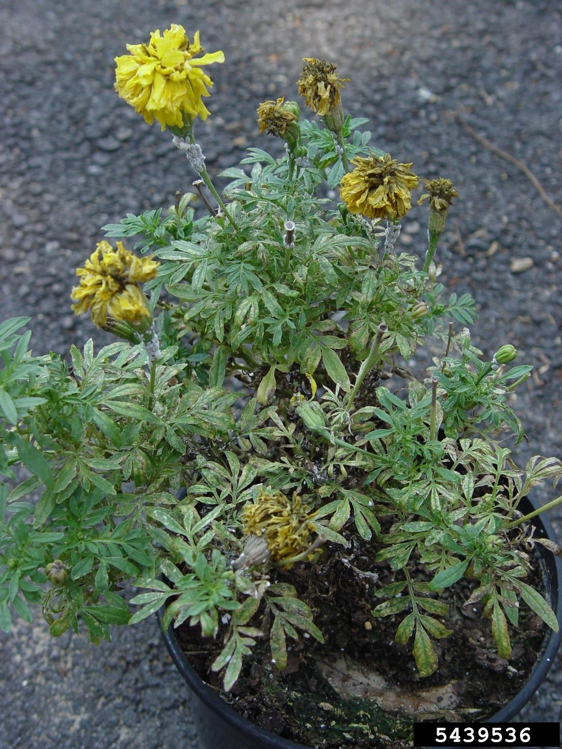 Marigold blossoms are a bright, sunny yellow, but the foliage below the flowers is supposed to be green. If your marigold leaves are turning yellow, you've got marigold leaf problems. To learn what might be causing yellowing marigold leaves, click here.
