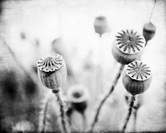 Floral Black And Grey Nature Tattoo: Black And White Nature Photography Poppy Pods Wall Art