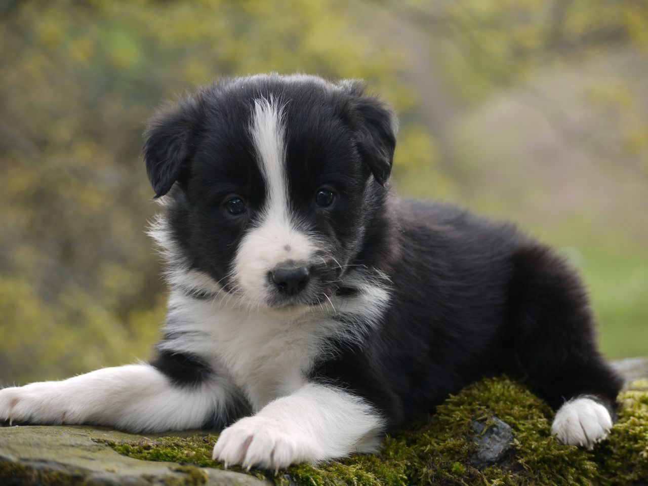 Border Collie Puppies Border Collie Puppies Collie Puppies