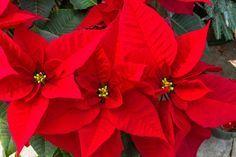 Come Curare La Stella Di Natale In Vaso.Come Coltivare La Stella Di Natale In Vaso Tazza Sospesa