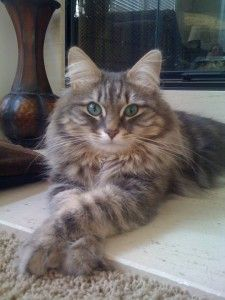 Love Those Siberian Cats Green Eyes Croshka Siberians Siberian Cat Cat Greens Cats