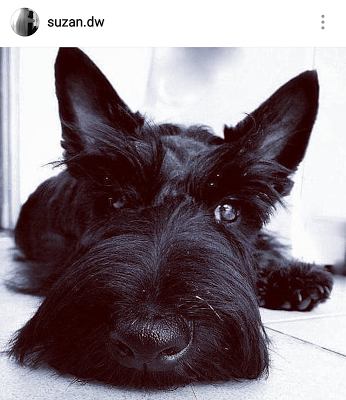 Scottish Terriers Of Instagram Scottie Dog Rescue Dogs Mom Funny Dog Pictures