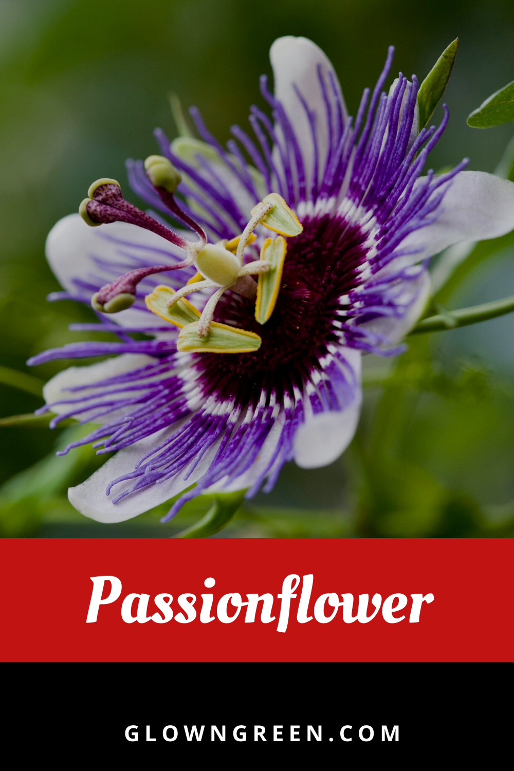 8 Health Benefits Of Passion Flower How To Use It Passion Flower Passion Flower Benefits Passion Flower Tea