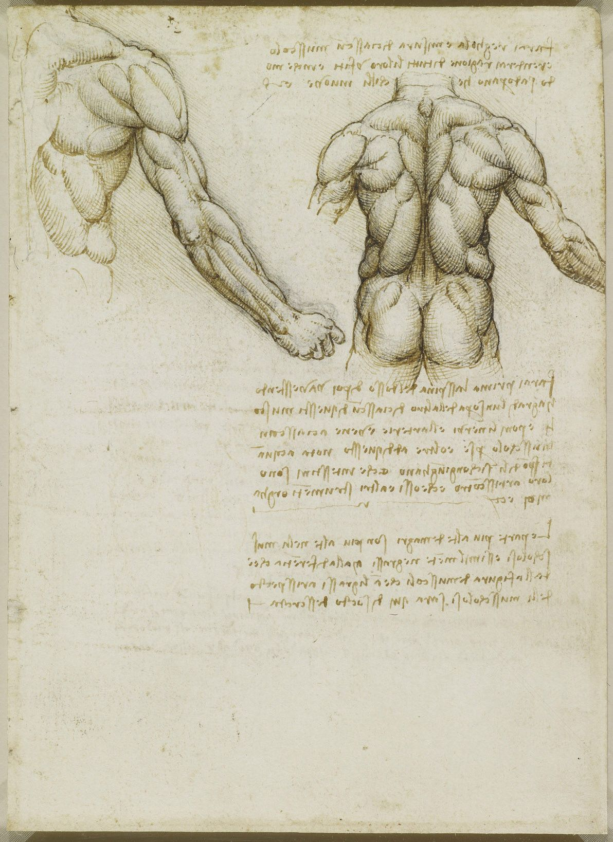 The muscles of the back and arm. Leonardo da Vinci (Vinci 1452 ...