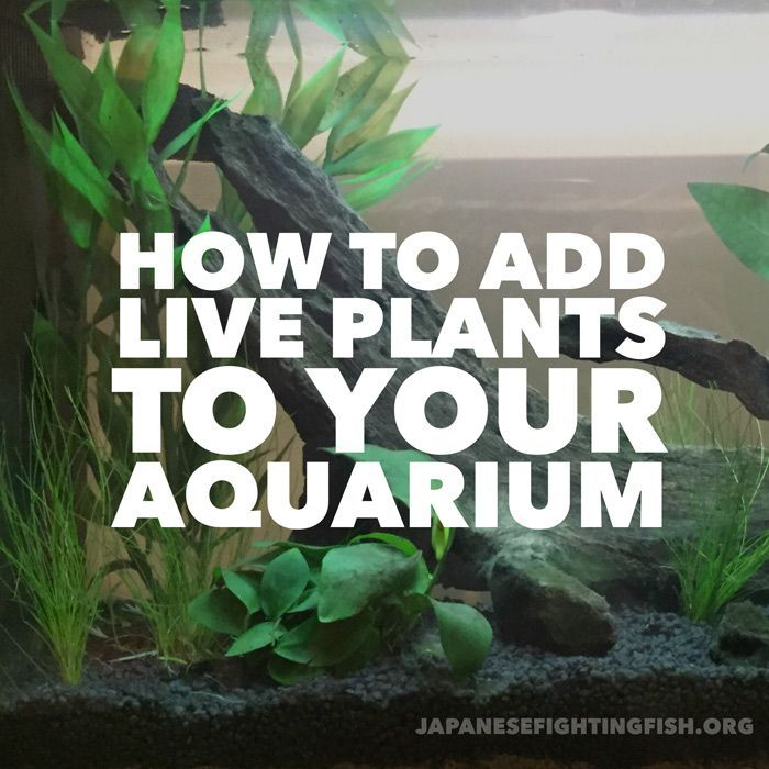 To Add Live Plants To Your Aquarium – the step by step guide Share with others...04000In this guide we are going to go step-by-step and show you how easy it is to add live plants to your aquarium. Live plants are great because there are so many benefits in having them in your betta fish tank. Primarily they help keep water conditions optimal b