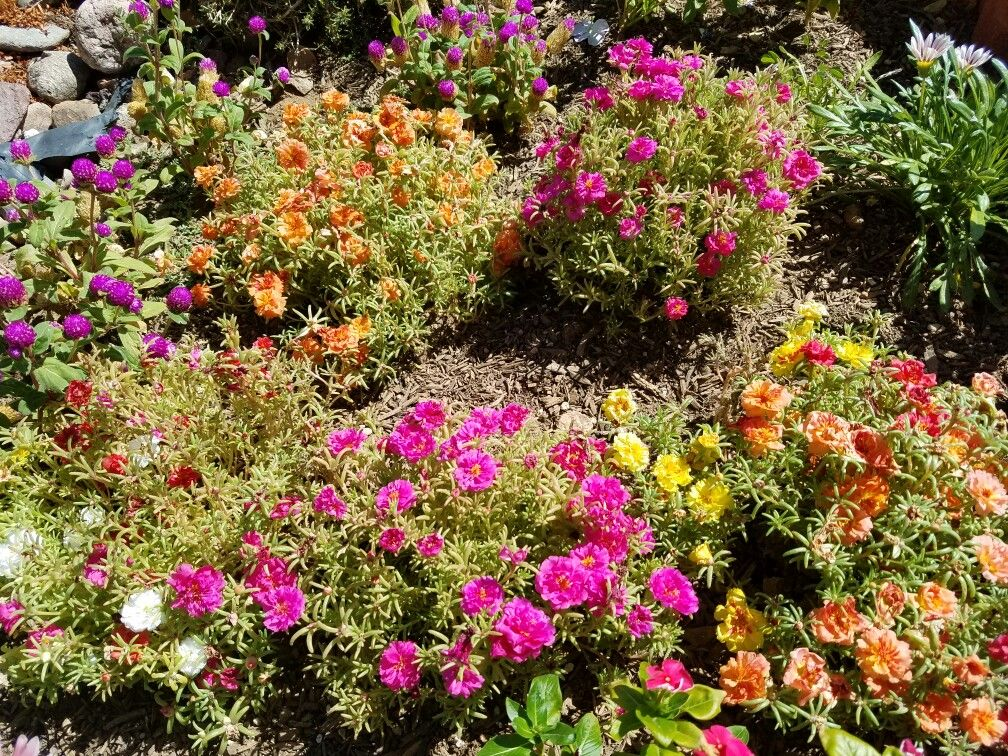 Grouping Various Ice Plants Together Provides A Nice Color Burst Plant Arizona Gardening