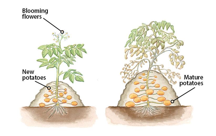 Pin On Growing Potatoes